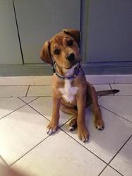 Texas, chien Cane Corso