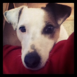 Texas, chien Jack Russell Terrier