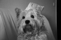Souvenir De Texas, chien West Highland White Terrier
