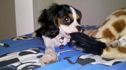 Texto, chien Cavalier King Charles Spaniel