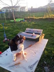 Thaichou, chien King Charles Spaniel