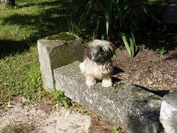 Thais, chien Shih Tzu