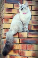 Thais, chat Siamois
