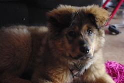 Thaissia , chien