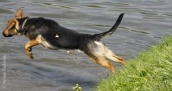Thalia, chien Berger allemand