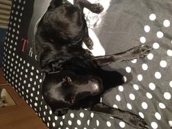 Thalia, chien Beauceron