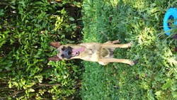 Thalia, chien Berger belge