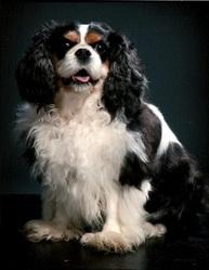 Thalie, chien Cavalier King Charles Spaniel