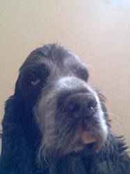Thalys, chien Cocker anglais