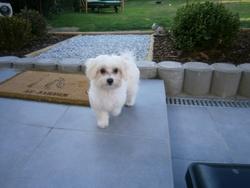Thalys, chien Bichon maltais