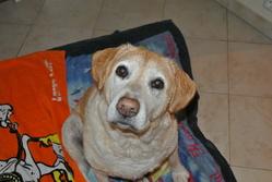 Thania, chien Labrador Retriever