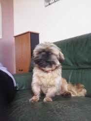 Taho, chien Shih Tzu