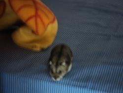 The Panpan, rongeur Hamster