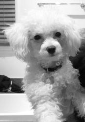 Théo, chien Caniche