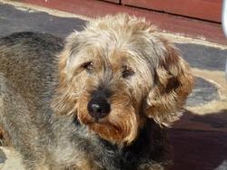 Théa, chien Teckel