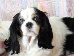 Théa, chien Cavalier King Charles Spaniel