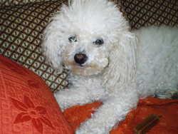 Thea, chien Bichon à poil frisé