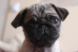Thelma, chien Carlin