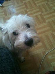 Themis, chien West Highland White Terrier