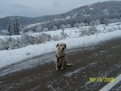 Thémis, chien Labrador Retriever