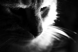 Thémis, chat Européen