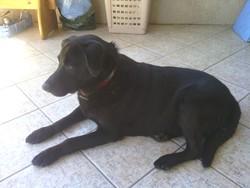 Théo, chien Labrador Retriever