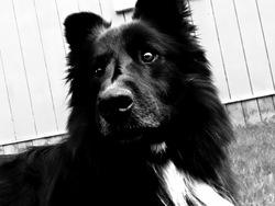 Théo, chien Border Collie