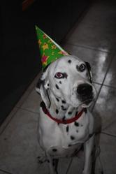Théo, chien Dalmatien