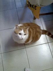 Théo, chat Européen