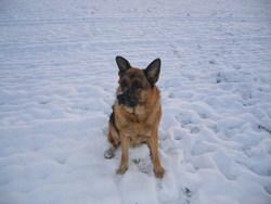 Théo, chien Berger allemand