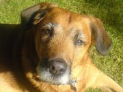 Théo, chien Berger belge