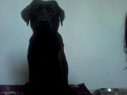 Theo , chien Labrador Retriever