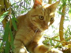 Theo, chat Européen