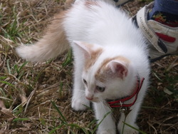 Theo, chat Turkish Van