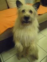 Theo, chien Berger des Pyrénées