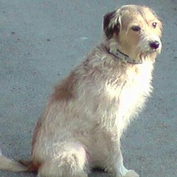 Théo, chien Parson Russell Terrier