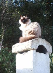 Théo, chat Birman