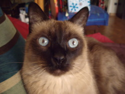 Théo Décédé, chat Siamois