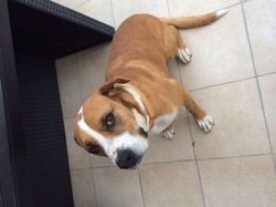 Théoden, chien Boxer