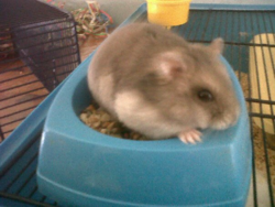Théodore, rongeur Hamster
