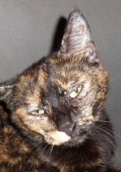 Théote, chat Européen