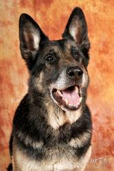 Thésée, chien Berger allemand