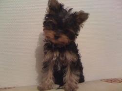 Thiago, chien Yorkshire Terrier
