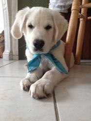 Thiboo, chien Golden Retriever