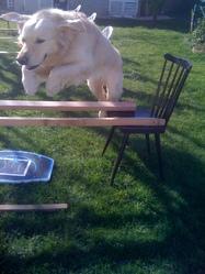 Thibus, chien Golden Retriever