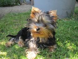 Thigrou, chien Yorkshire Terrier