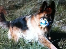 Thomas , chien Berger allemand