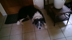 Thor, chien Bouvier bernois