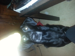 Thor, chien Labrador Retriever
