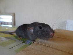 Thor , rongeur Rat
